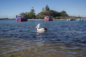Die Kiesels in Australien_Pelikan