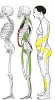 Vertikale Muskelketten